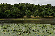 MERTHYR TYDFIL, Wales - 04 JUNE 2020 - Cyfarthfa park lake with large Water lilies and trees in the background.