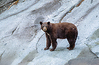 Black bear on the shoreline of Tracy Arm in Tracy Arm - Fords Terror Wilderness, Southeast Alaska.