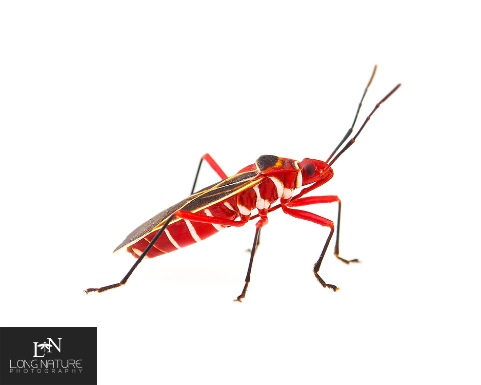 Cotton Stainer Bug - Dysdercus suturellus).