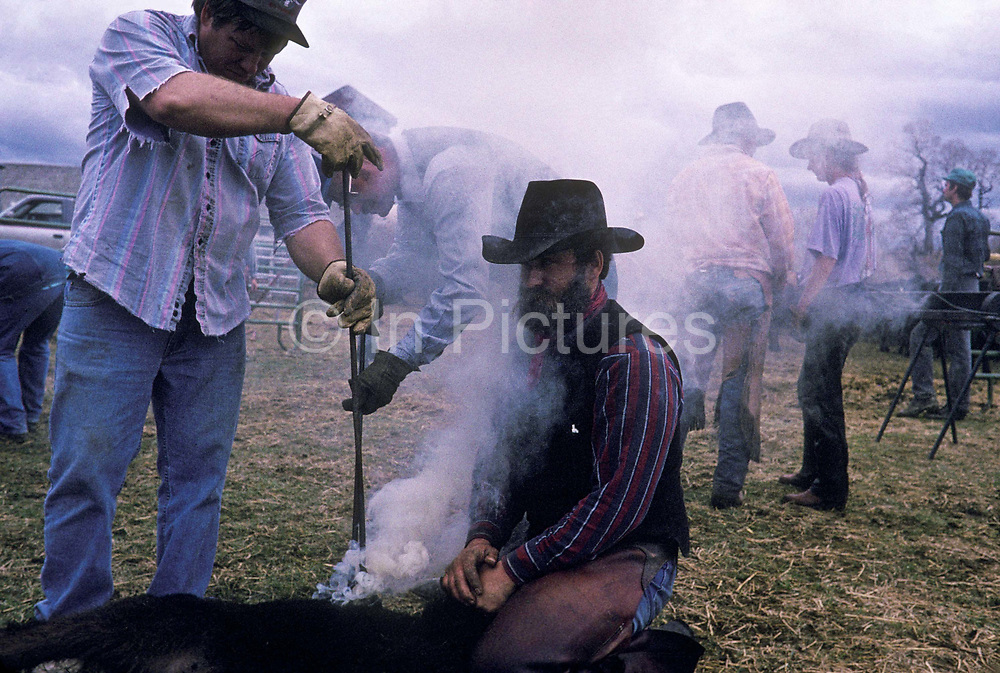 Cowboys branding cattle on Hathaway Ranch, Montana, USA