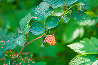 An unusual-colored salmonberry growing in the wetlands above Deep Lake in Thurston County, Washington.