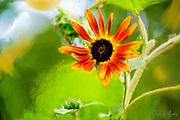 Orange Daisy
