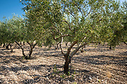 Olive grove of Coratina olives growing for extra virgin olive oil production at Azienda Agricola Mandranova at Palma di Montechiaro in Sicily