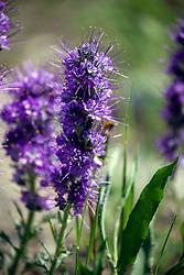 Silky Phacelia, wildflowers of Yellowstone