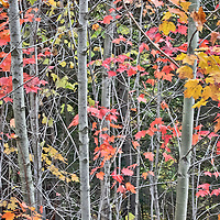 A beautiful stand of autumn trees show off their color in the Northeast Kingdom of Vermont.