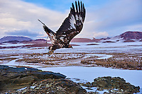 Mongolie, province de Bayan-Olgii, chasse à l'aigle royal en hiver dans les monts Altai // Mongolia, Bayan-Olgii province, Golden Eagle hunting in Altai mountains, winter season
