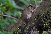 Northern Tree Shrew, Tupaia belangeri, sitting on a tree trunk while feeding on insects in Baihualing, Gaoligongshan, Yunnan, China