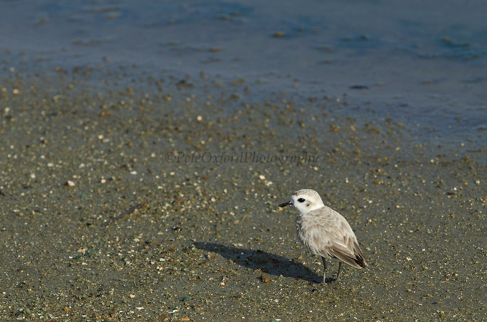 Snowy Plover Immature (Charadrius alexandrinus )<br /> BONAIRE, Netherlands Antilles, Caribbean<br /> HABITAT & DISTRIBUTION: Barren or sparsely vegetated sand beaches along the coast, and on alkaline flats and river bars farther inland.
