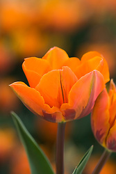 Tulipa 'Prinses Irene' AGM