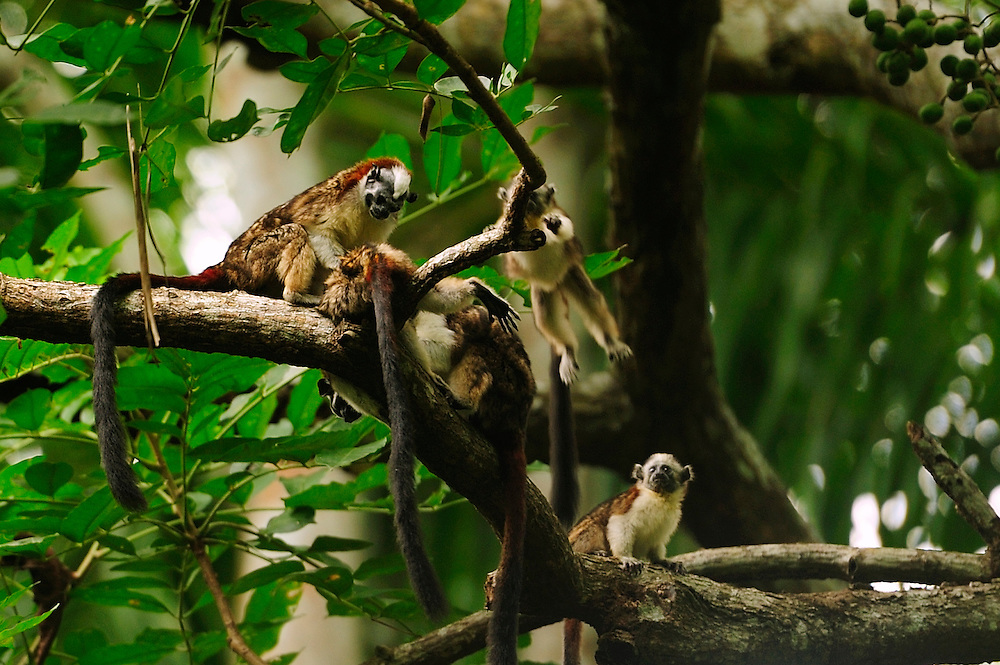 Familia de monos tití en un mango / Clayton, Panamá.