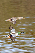 Male and female Northern Shoveler Ducks in flight.(Anas clypeata).San Joaquin Reserve,California