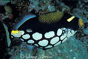 clown triggerfish, Balistoides conspicillum, <br /> Helengeli, North Male Atoll<br /> Maldives, ( Indian Ocean )