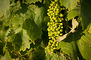 Young grapes growing on vines for white wines in Langlade, Charente-Maritime region, France. Still green and growing well, the young grapes flourish in the soils of southwestern France, between the towns of Pons and Royan on the Gironde estuary. They ripen in afternoon July sunshine before harvesting in September.