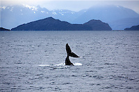 Fluke of a humpback whale in Chile