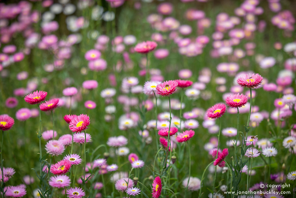 Acroclinium 'Double Giant Flowered Mixed' - Strawflower