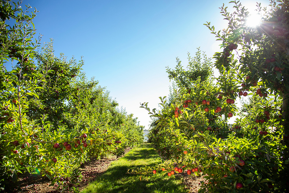 Looking down a row of apple laden trees with a clear blue sky
