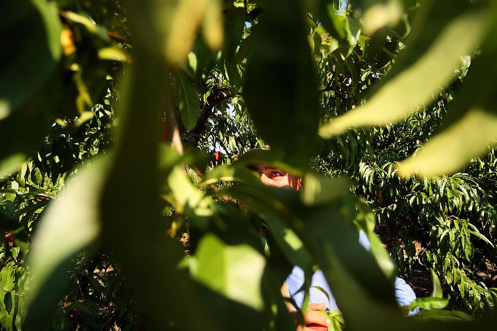 Sergio Garcia, of Hidalgo, Mexico picks peaches. Garcia has been working at Titan farms for three years.