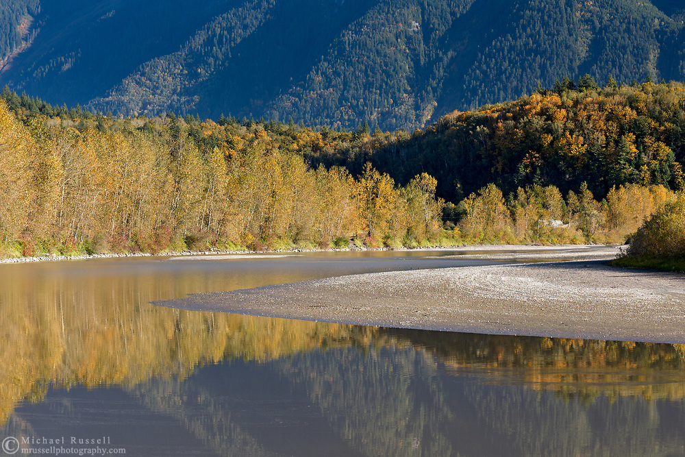 The Fraser River is surrounded by fall foliage color in Agassiz, British Columbia, Canada. The majority of the trees providing fall color along the banks of the Fraser River are Black Cottonwood (Populus trichocarpa).  The trees on the hill in the middle of the photo are predominantly Bigleaf Maples (Acer macrophyllum).