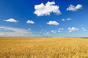 Wheat field<br /> Rosenhof<br /> Saskatchewan<br /> Canada