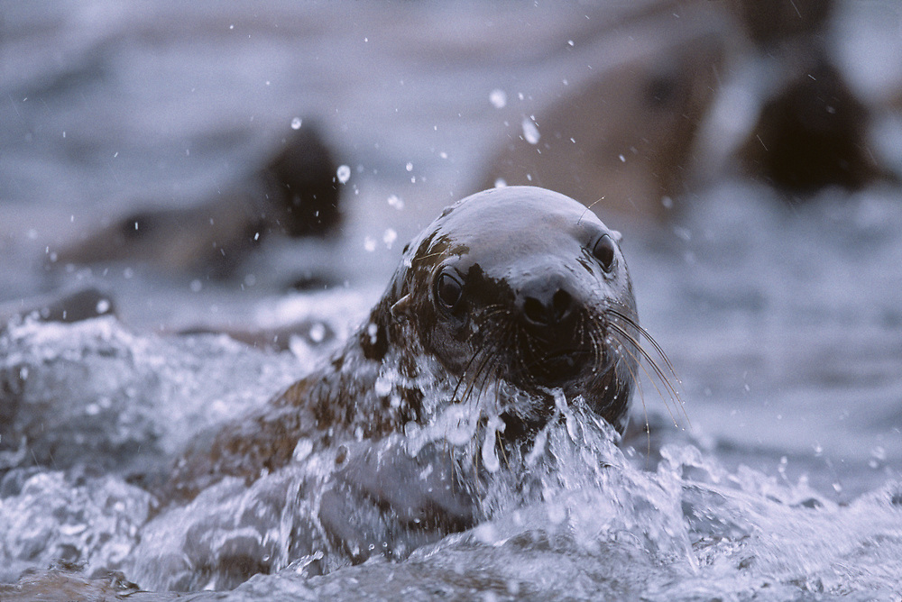 USA, Alaska, Tongass National Forest, Steller's Sea Lions (Eumetopias jubatus) sparring in rain by haulout on Sail Island
