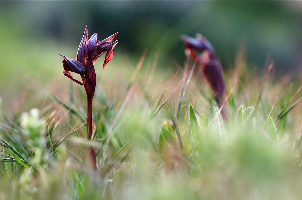 Heart-flowered serapias (Serapias cordigera), Akamas peninsula, Cyprus