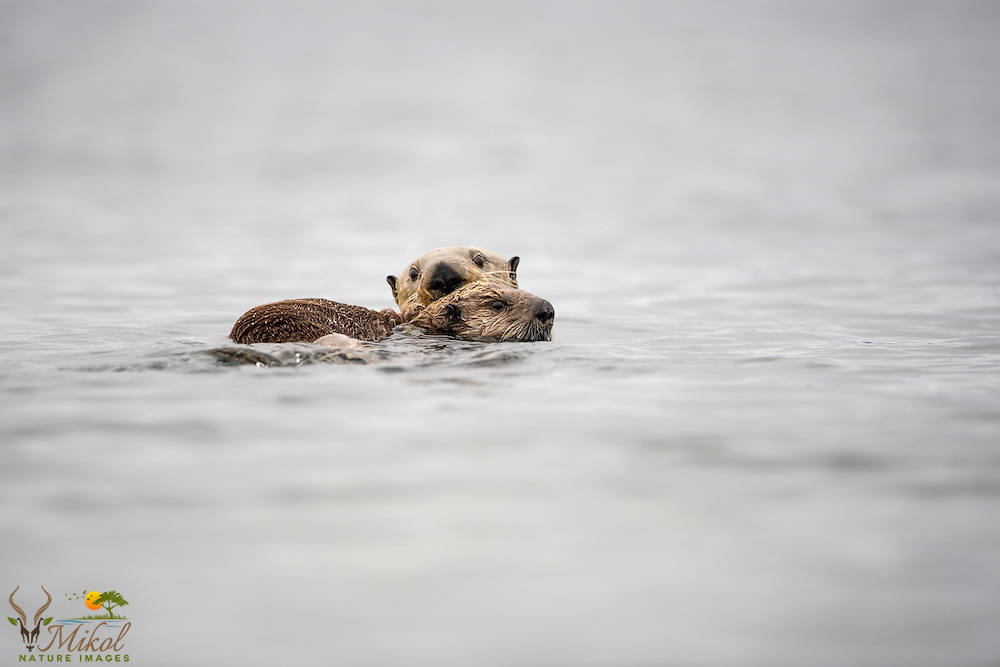 Sea otter mother and pup looking