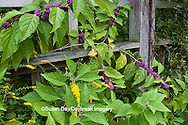 65821-00320 American Beautyberry (Callicarpa americana) North Carolina Botanical Garden, Chapel Hill, NC