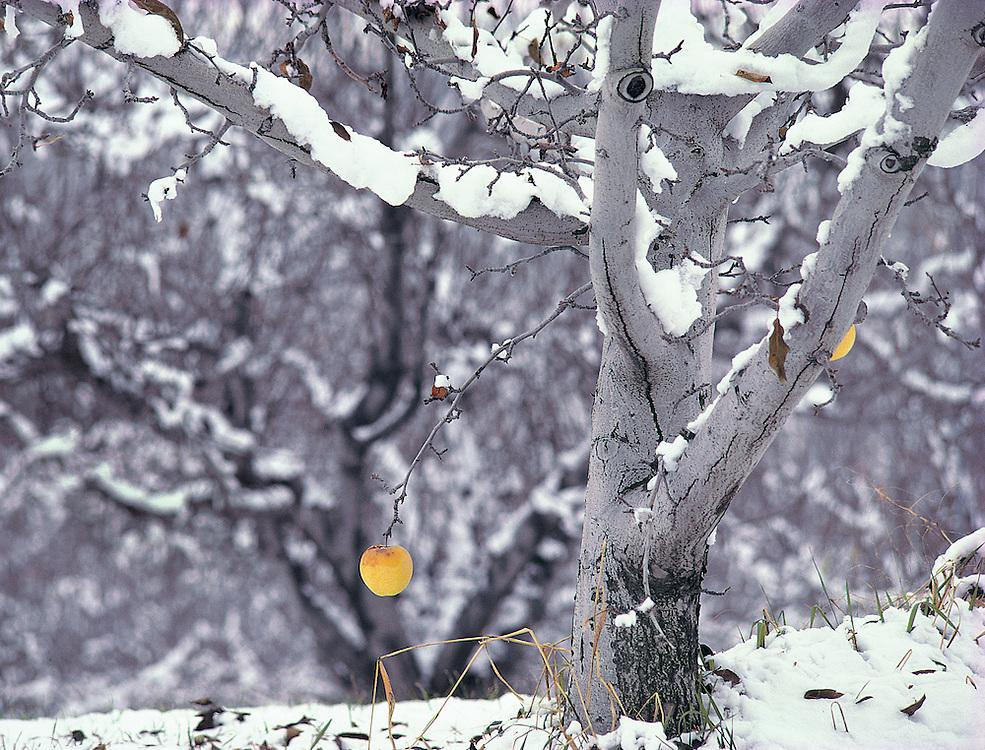 last hanging fruit in winter apple orchard, Washington State