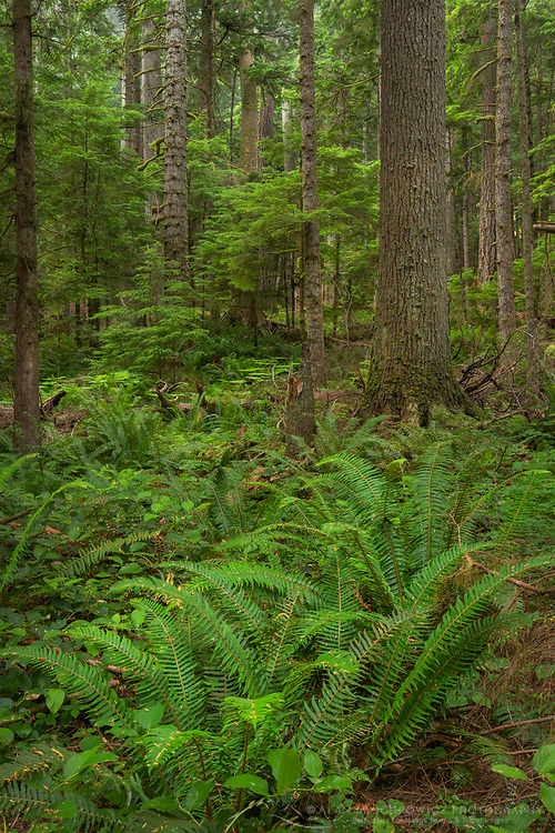 Old Growth forest in Heart O' the Hills, Olympic National Park Washington