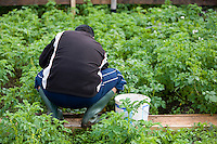 Pakistani man working on his London allotment