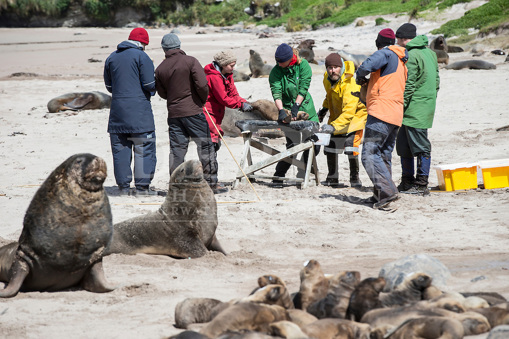 The New Zealand Sea Lion Research programme tags and microchips Sea Lion pups at the Sandy Bay colony, Enderby Island, Auckland Islands, New Zealand. Tagging enables scientists to keep a track of movements and estimate population numbers.<br /> 14 January 2016. <br /> Photograph Richard Robinson © 2016