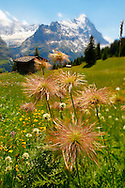 Alpine Avens Seed heads. Alpine summer meadow.  Bernese Alps. .<br /> <br /> Visit our SWITZERLAND  & ALPS PHOTO COLLECTIONS for more  photos  to browse of  download or buy as prints https://funkystock.photoshelter.com/gallery-collection/Pictures-Images-of-Switzerland-Photos-of-Swiss-Alps-Landmark-Sites/C0000DPgRJMSrQ3U