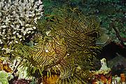 Weedy Scorpionfish - closeup.(Rhinopias aphanes).Papua New Guinea)
