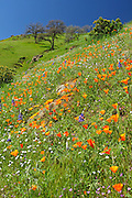 California State Flower Growing on the Hills of Central Valley