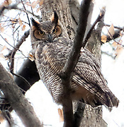 Great Horned olw in Central Park, NYC.