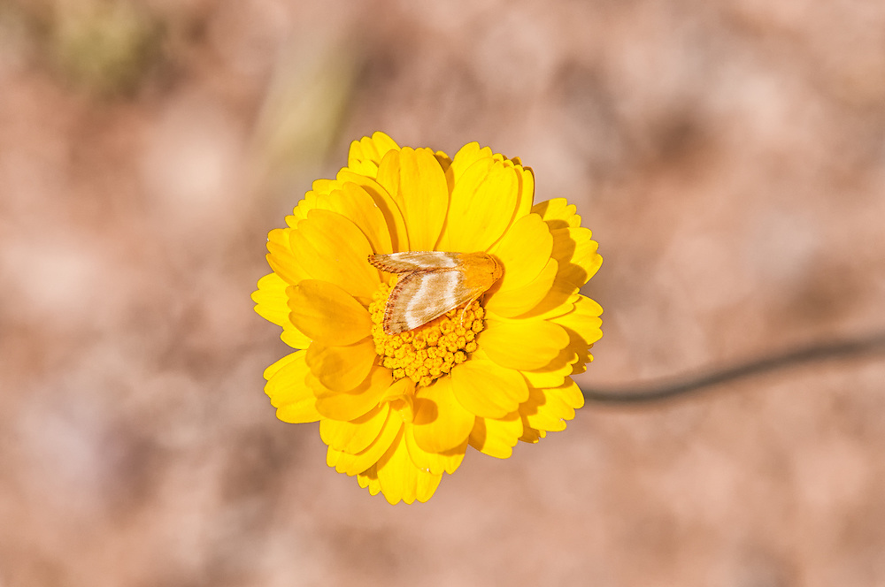 The desert-marigold moth is a member of the owlet moth family and is found throughout much of the western United States. It is associated with the desert-marigold, which is a native aster found in much of the more arid regions of the country. This one was photographed on its host in Northwestern Arizona.