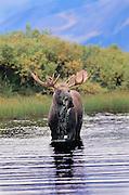 Bull Moose fresh out of velvet standing in pond