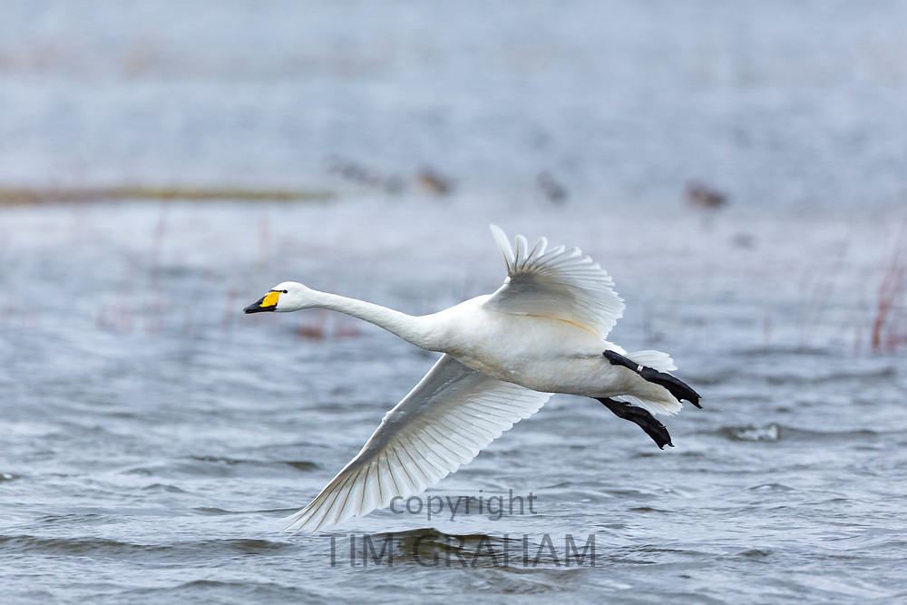 Whooper Swan, Cygnus cygnus, in flight and coming in to land with wings and feathers spread wide at Welney Wetland Centre, Norfolk, UK