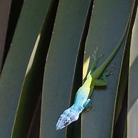 Anolis allisoni, AKA Blue-headed anole, Cuba