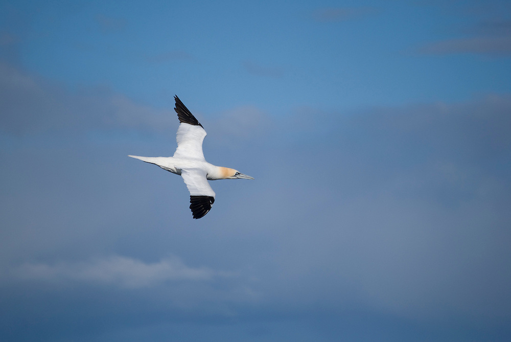 Whilst working for Elding Whale Watch i was able to take this picture of a gannet (Morus bassanus) flying by in search of a school of sprat.