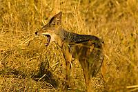 Silver backed jackal, Tarangire National Park, Tanzania