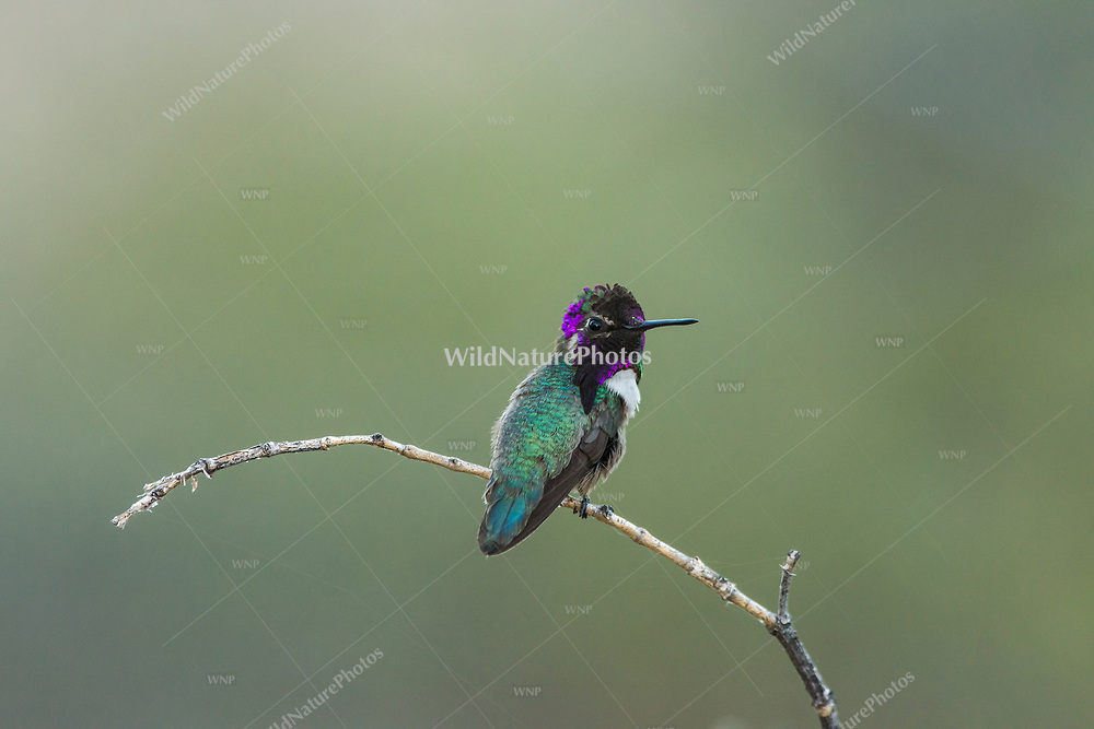 Male Costa's Hummingbird (Calypte costae) perched on a branch. Tucson