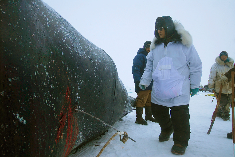Barrow, Alaska. Simmeon Patkotak Crew and other community members butchering their harvested whale.  May 2007.