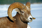 American or Rocky Mountain bighorn sheep (Young American or Rocky Mountain bighorn sheep (Ovis canadensis canadensis) on cliff ledge in Jasper National Park) at Minnewanka Lake in Banff National Park<br />