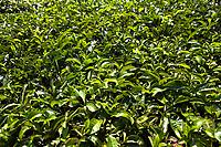 in Nelliyampaty Hills Tea Fields in mumnar Kerala state india