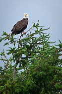 Bald Eagle (Haliaeetus leucocephalus) (Halietus leucocephalus) sitting in the top of a Douglas Fir Tree at Big Beef Creek estuary along the Hood Canal of Puget Sound, Washington state, USA