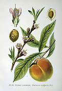 Common Peach (Persica vulgaris).  From A Masclef 'Atlas des Plantes de France', Paris, 1893.