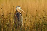 A great blue heron (Ardea herodias) rests in the tall marsh grasses in the Edmonds Marsh, Edmonds, Washington.