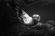 Steller Sea Lions play in the Salish Sea off the coast of Vancouver Island, British Columbia, Canada.