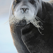Bearded Seal resting on pack ice near Svalbard, Norway.